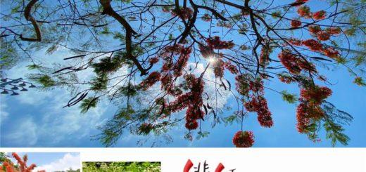 「緋紅鳳凰花季」來彰化拍美照拿好禮